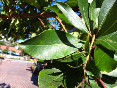 Leaf picture  Aardbeiboom ( Arbutus unedo)