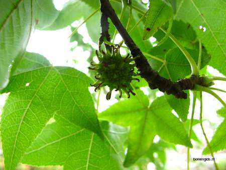 Fruit picture  Amberboom ( Liquidambar styraciflua)