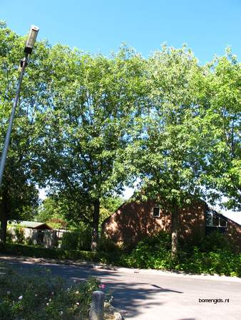 Tree picture  Amerikaanse eik ( Quercus rubra)