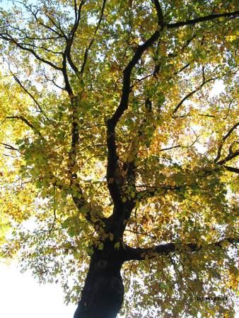 picture  Amerikaanse_eik |Quercus_rubra