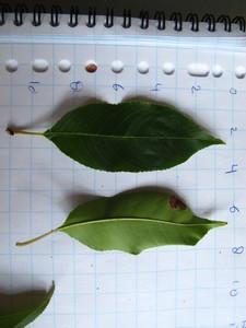 Leaf picture  Amerikaanse vogelkers ( Prunus serotina)