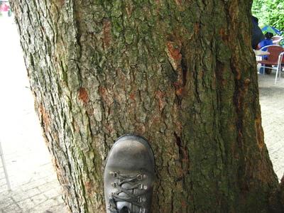picture  Amerikaanse_vogelkers |Prunus_serotina