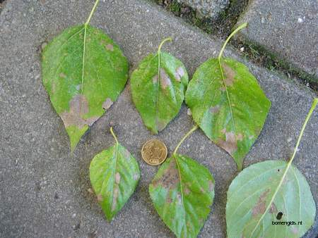 picture  Balsam_populier |Populus_balsamifera