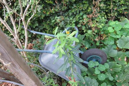 picture  Bittere_wilg |Salix_purpurea