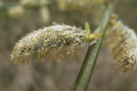 picture  Boswilg--Waterwilg |Salix_caprea