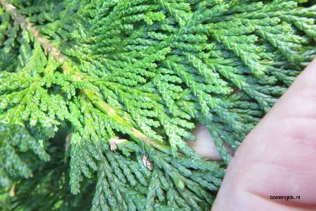 Leaf picture  Californische cypres ( Chamaecyparis lawsoniana)