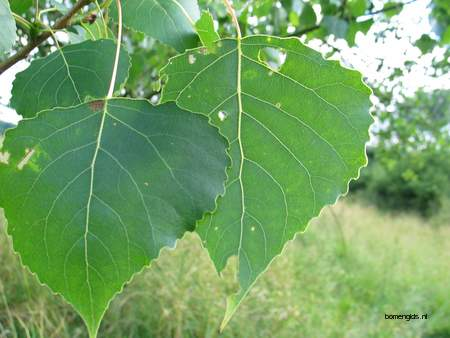 Leaf picture  Canada populier ( Populus x canadensis)