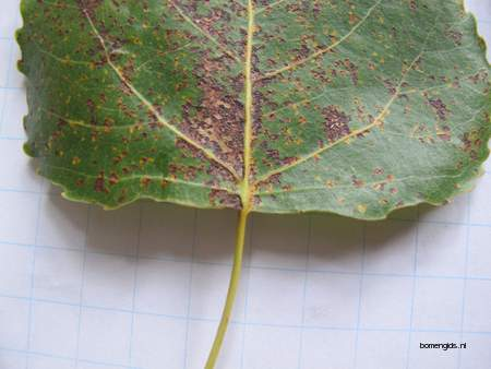 picture  Canada_populier |Populus_x_canadensis