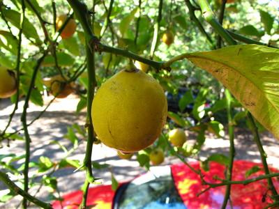 picture  Citroen |Citrus_limon