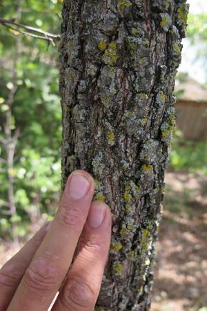 picture  Donzige_eik--Zachte_eik |Quercus_pubescens
