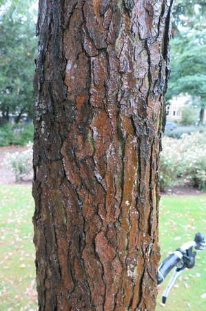 picture  Doodsbeenderenboom |Gymnocladus_dioicus