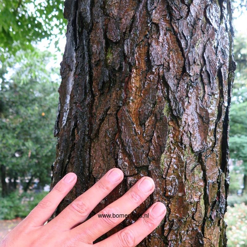 Herken de boomsoort NL: Doodsbeenderenboom; Latin ...
