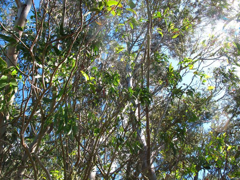 herken de boomsoort nl eucalyptus latin eucalyptus. Black Bedroom Furniture Sets. Home Design Ideas
