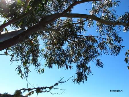picture  Eucalyptus |Eucalyptus_globulus