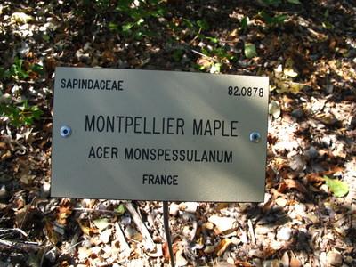 picture  Franse_esdoorn |Acer_monspessulanum