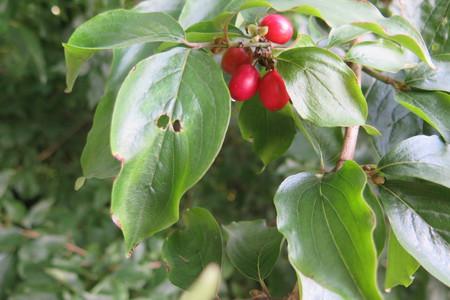 Leaf picture  Gele kornoelje ( Cornus mas)