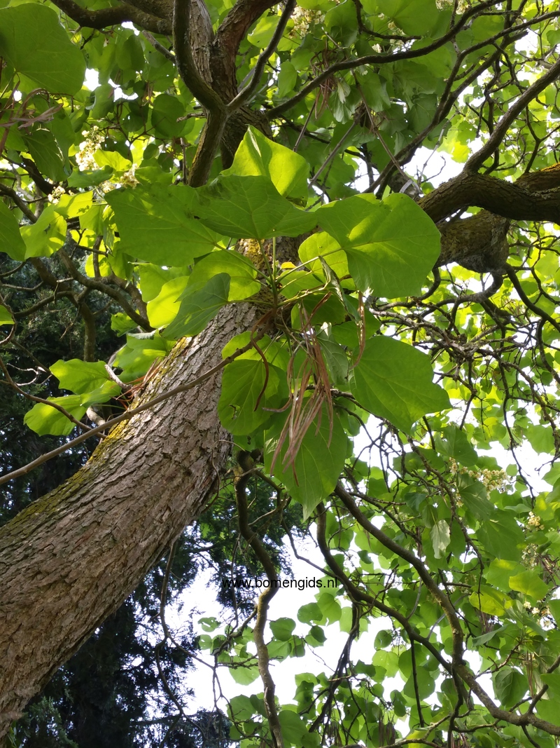 herken de boomsoort nl gele trompetboom latin catalpa ovata uk yellow bean tree ge gelber. Black Bedroom Furniture Sets. Home Design Ideas