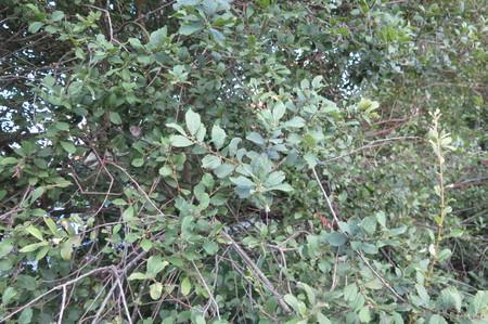 picture  Geoorde_wilg |Salix_aurita