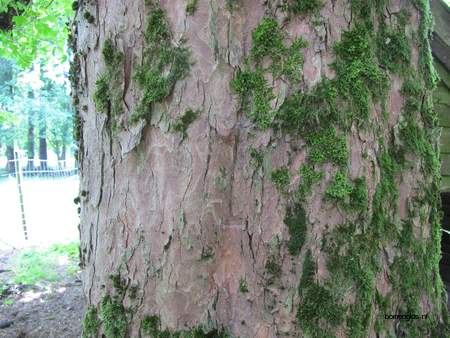 Bark picture  Gewone esdoorn ( Acer pseudoplatanus)