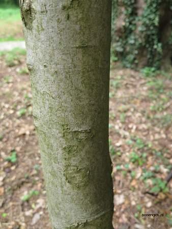 picture  Gewone_esdoorn |Acer_pseudoplatanus