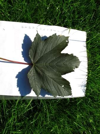 Leaf picture  Gewone esdoorn ( Acer pseudoplatanus)