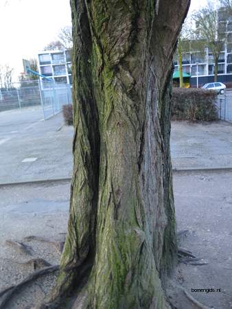 picture  Gewone_vleugelnoot |Pterocarya_fraxinifolia