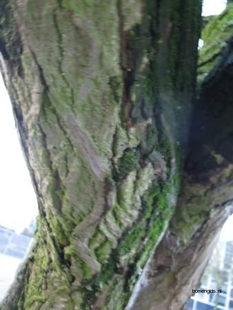 picture  Gewone_vleugelnoot  Pterocarya_fraxinifolia