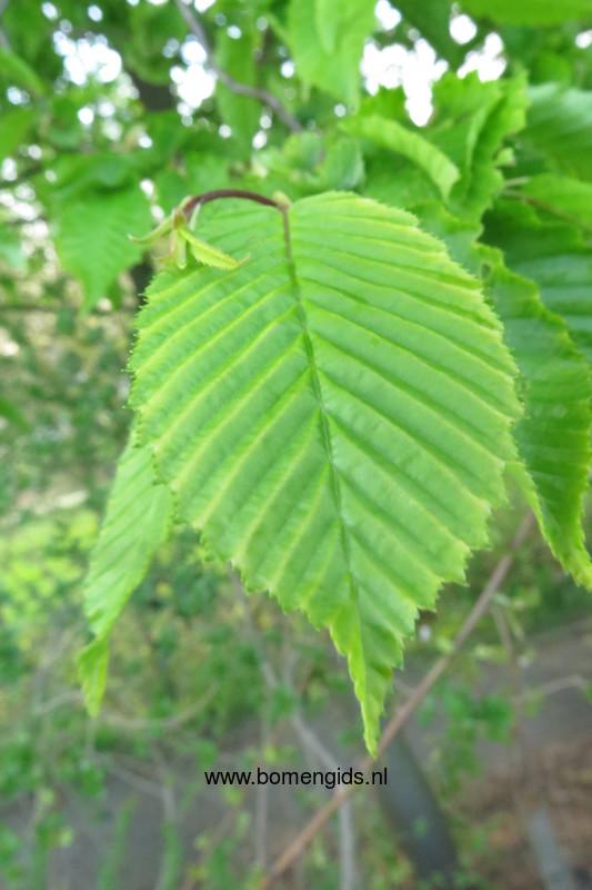 Elm Tree Meaning Texas Cedar Elm 25 Beautiful Tree
