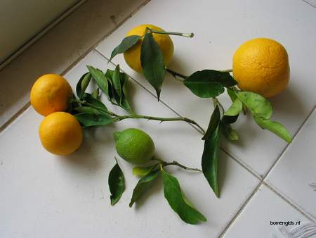 picture  Grapefruit |Citrus_paradisi