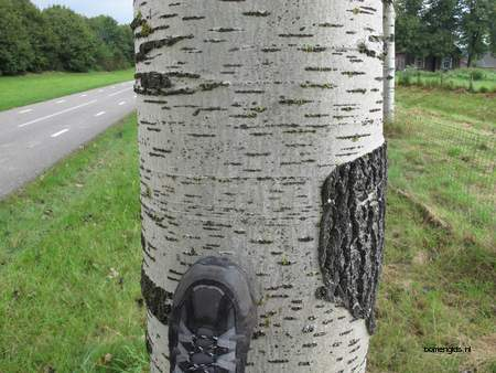 Bark picture  Grauwe abeel ( Populus canescens)