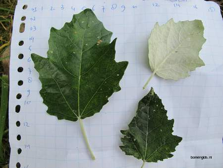 picture  Grauwe_abeel  Populus_canescens