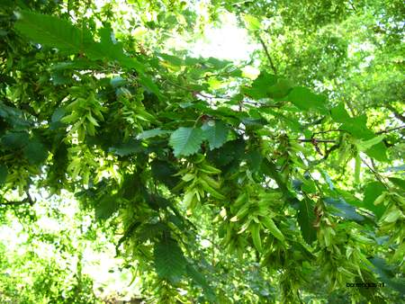 picture  Haagbeuk |Carpinus_betulus
