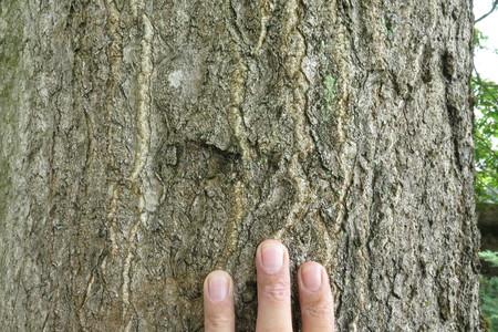 picture  Hemelboom |Ailanthus_altissima