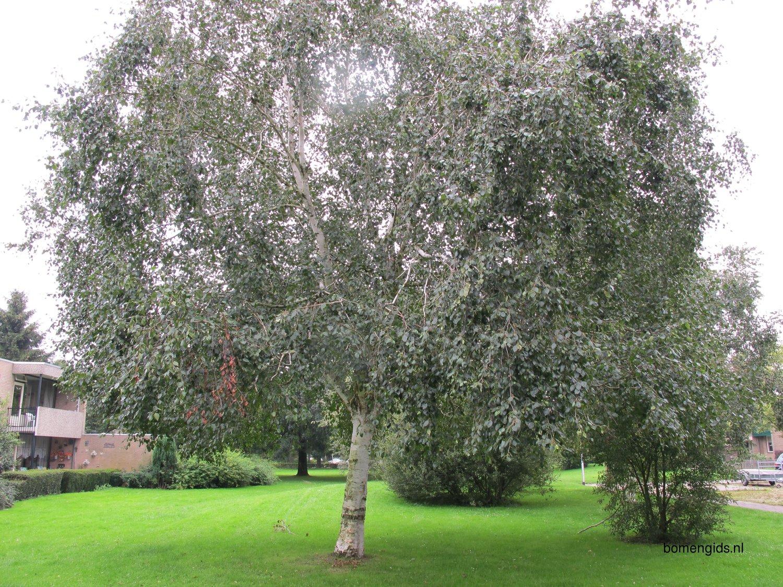 herken de boomsoort nl himalaya berk latin betula. Black Bedroom Furniture Sets. Home Design Ideas