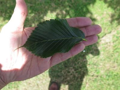 Leaf picture  Hollandse iep ( Ulmus hollandica)