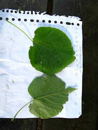 Leaf picture  Hollandse linde ( Tilia x vulgaris)