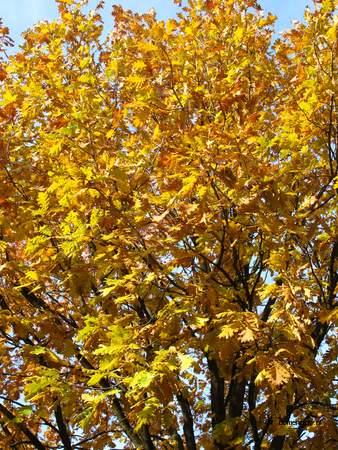 picture  Hongaarse_eik |Quercus_frainetto