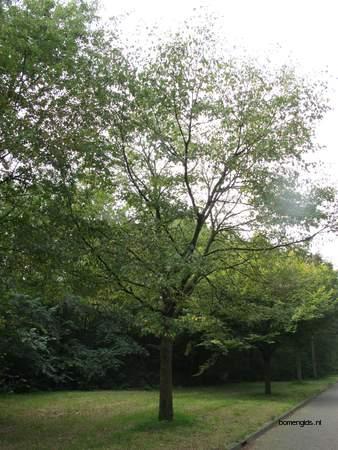 picture  Hopbeuk |Ostrya_carpinifolia