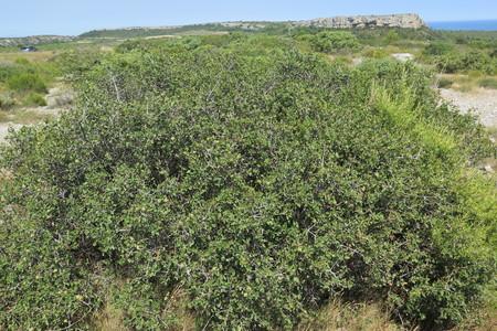 picture  Hulsteik--Kermeseik |Quercus_coccifera