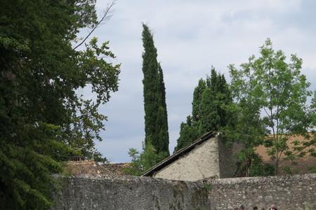 picture  Italiaanse_cypres |Cupressus_sempervirens