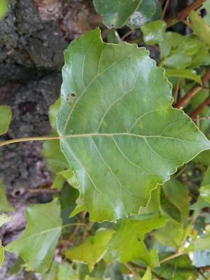 picture  Italiaanse_populier |Populus_nigra