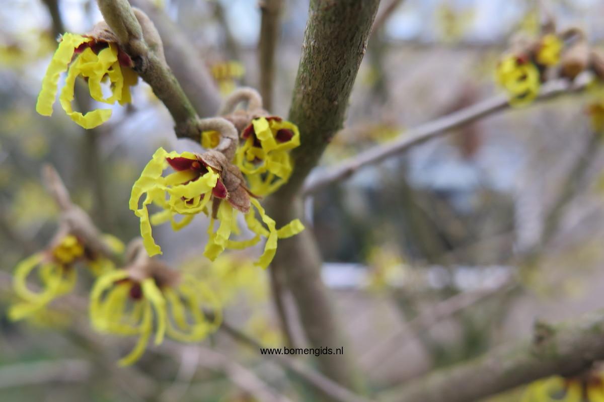 Beliebt Bevorzugt Herken de boomsoort NL: Japanse Toverhazelaar; Latin: Hamamelis #IX_85