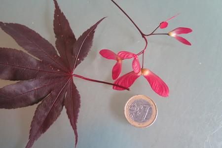 picture  Japanse_esdoorn  Acer_palmatum