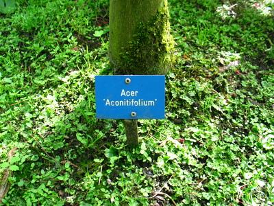 picture  Japanse_esdoorn_conitifolium |Acer_Japonicum_conitifolium