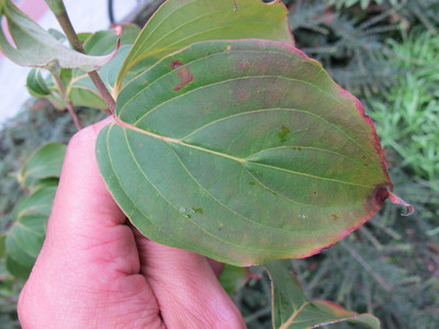 Leaf picture  Japanse kornoelje ( Cornus Kousa)