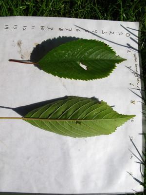 picture  Japanse_sierkers |Prunus_serrulata