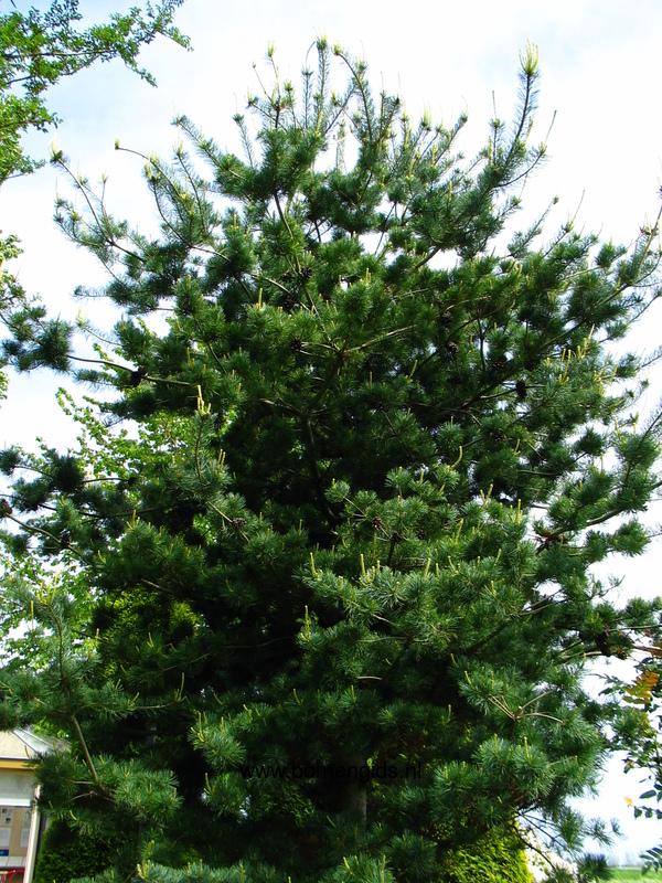 Herken De Boomsoort Nl Japanse Witte Den Latin Pinus