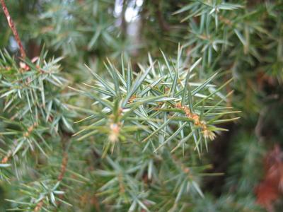 picture  Jeneverbes |Juniperus_communis