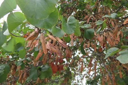 Leaf picture  Judasboom ( Cercis siliquastrum)