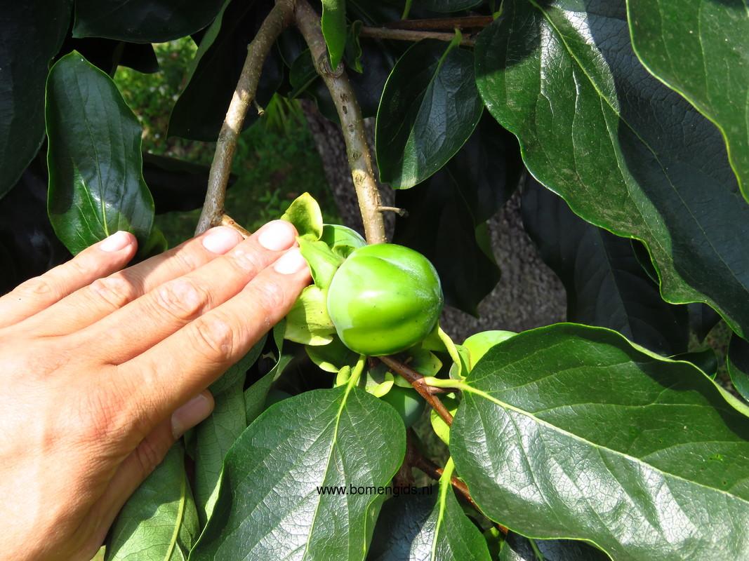 herken de boomsoort nl kaki latin diospyros kaki uk oriental persimmon ge kaki fr